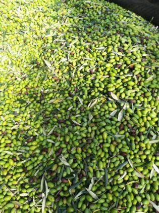 Olio Evo Monocultivar di Picholine Karpene tra i migliori d'Italia
